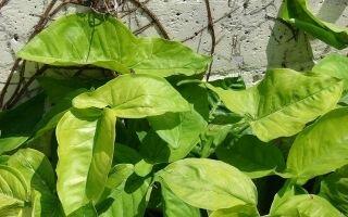 Цветок сингониум: приметы и суеверия
